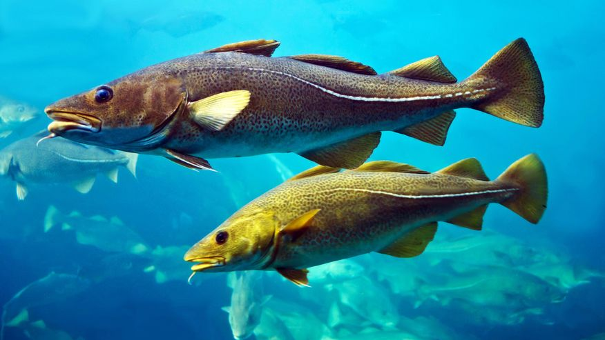 Photo of cod fishes