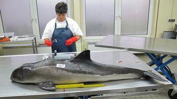 Foto von der Veterinärmedizinerin Prof. Dr. Ursula Siebert, die einen Schweinswal obduziert.